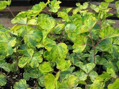 Variegated Columbine LEPRECHAUN GOLD RARE PLANT 10 Seeds Aquilegia Seeds
