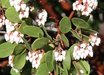 Arctostaphylos patula [Dog Creek, CA]