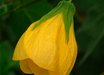 Abutilon 'Furious Yellow'
