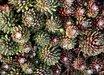 Sempervivum arachnoideum 'Hurricane'