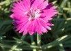 Dianthus Firewitch