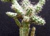 Austrocylindropuntia shaferi