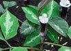 Arisaema sikkokianum [Silver Leaf]