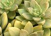 Sedum adolphii 'Lime Gold'