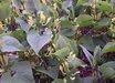 Aristolochia clematitis