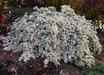 Symphyotrichum 'Bridal Veil' PP23966