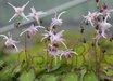 Epimedium grandiflorum 'Swallowtail'