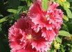 Alcea hybridum 'Fiesta'