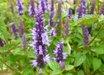 Agastache rugosa 'Little Adder' PP26514