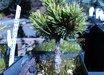 Pinus parviflora 'Hagoromo Seedling'