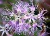 Dianthus superbus ssp. alpestris