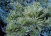 Pinus strobus 'Billaw'