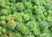 Sempervivum montanum ssp. stiriacum