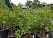 Arctostaphylos manzanita 'Dr. Hurd'