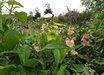 Antirrhinum majus 'Chantilly Peach'