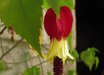 Abutilon megapotamicum 'China Bells'