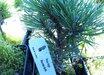 Pinus uncinata 'Mountain Muffin'