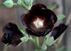 Alcea ficifolia [black]