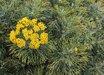 Phymaspermum acerosum