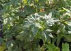 Acer circinatum 'Baby Buttons'