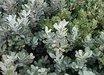 Notholithocarpus