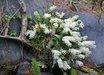 Dendrobium kingianum [cl. 2]