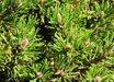 Pinus mugo 'Short Needle'
