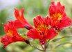 Alstroemeria [red]
