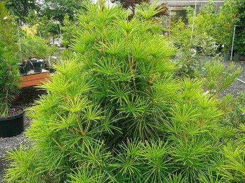 Sciadopitys Verticillata Japanese Umbrella Pine Plant Lust