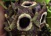 Asarum splendens [ex Wild China]