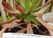 Aeonium leucoblepharum