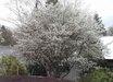 Amelanchier x grandiflora 'Cole's Select'