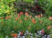 Dianthus barbatus (Nigrescens Group) 'Sooty'
