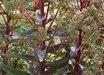 Sedum Garnet Brocade™ PP16350