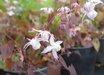 Epimedium x youngianum 'Purple Heart'