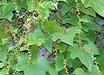 Dioscorea quinquilobata