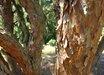 Pinus densiflora Tanyosho Dwarf Group