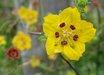 Scyphanthus