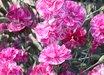 Dianthus 'Cosmic Pink Swirl'