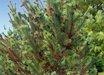 Pinus flexilis 'Medicine Bow'
