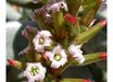 Adromischus 'Hummel's White'