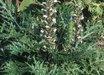 Acanthus caroli-alexandri