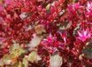 Sedum spurium 'Dragon's Blood'