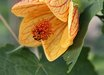 Abutilon 'High Noon'