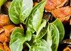 Arum pictum 'Tiny Tot'