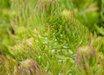 Sedum rupestre Suntouched® PP23312