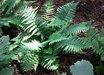 Dryopteris affinis ssp. cambrensis 'Insubrica'