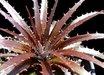 Dyckia platyphylla v. rubra