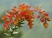 Arctostaphylos pajaroensis 'Warren Roberts'