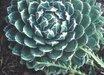 Agave victoriae-reginae 'Porcupine'